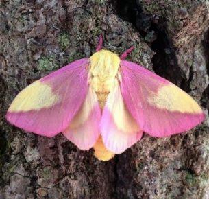 розовая кленовая бабочка
