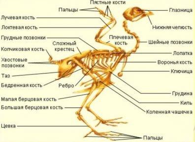 Скелет фламинго