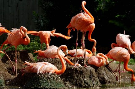 Гнездование фламинго