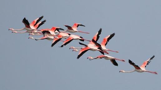 Полет стаи фламинго