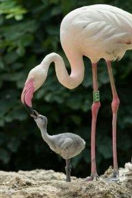Выкармливание птенца фламинго