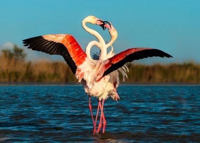 Брачные танцы фламинго