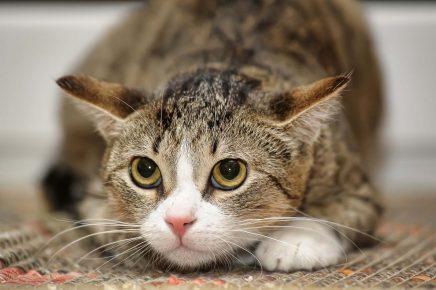 Кошка поджимает уши
