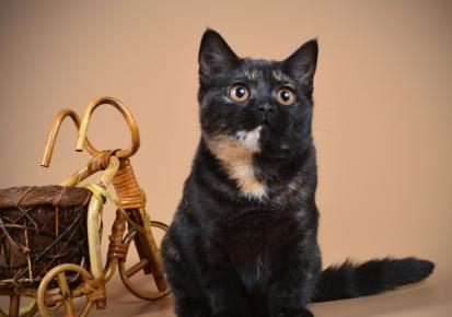 Британская кошка чёрно-красная черепаха
