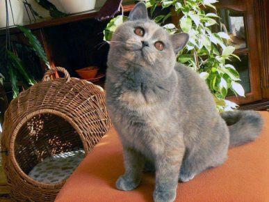 Британская кошка голубо-кремовая черепаха