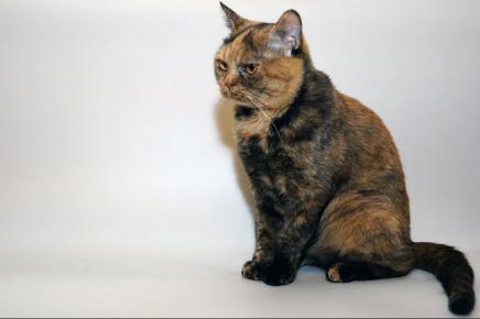 Дымчатая черепаховая британская кошка