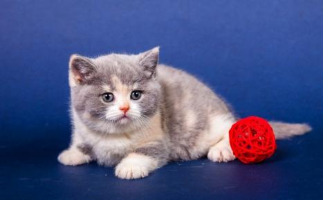 Британская кошка черепаховый биколор