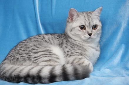 Британская пятнистая табби кошка