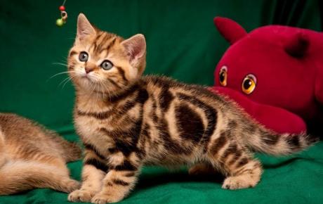 Мраморный табби британская кошка