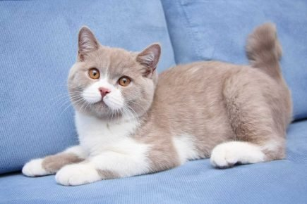 Британский кот фавн биколор