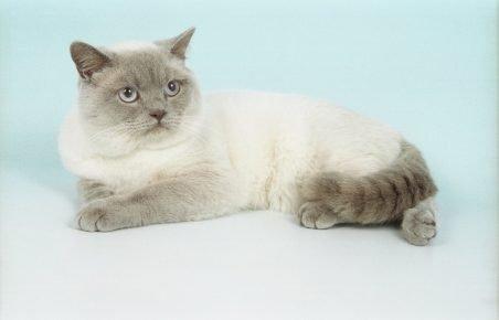 Британская кошка блю колор-пойнт