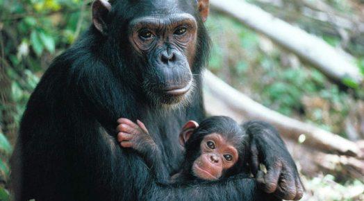 Шимпанзе и его детёныш