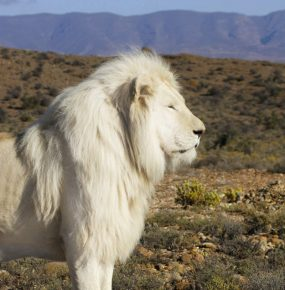 Белый лев на природе