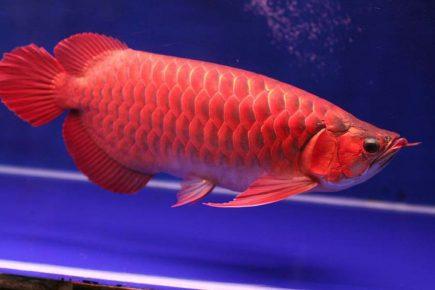 Рыба-дракон Арована
