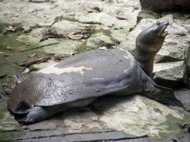 черепаха свайно