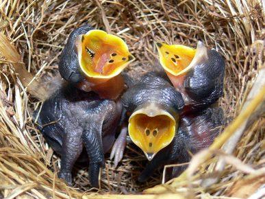 Птенцы разевают клювы