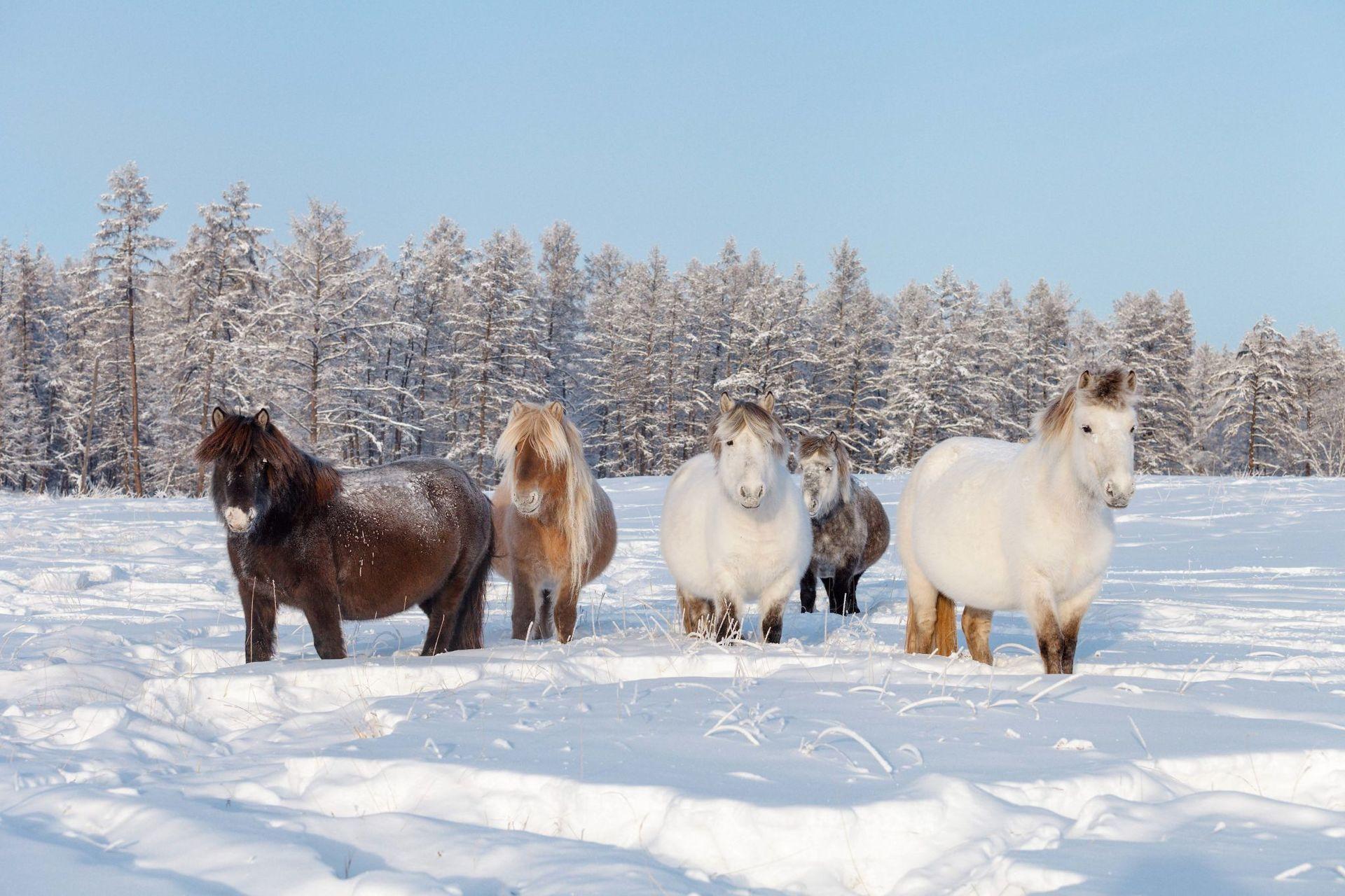 Якутские лошади картинка