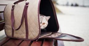 Британская кошка в сумке-переноске на скамье