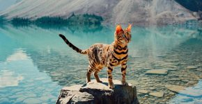 Бенгальская кошка на озере