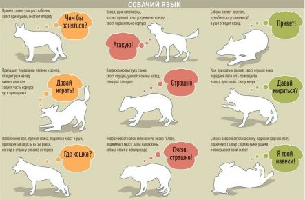 Положение хвоста собаки