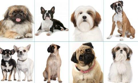 Брахицефалические породы собак