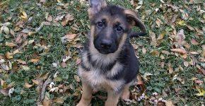 Не встают уши у собаки