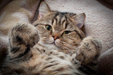 Кошка
