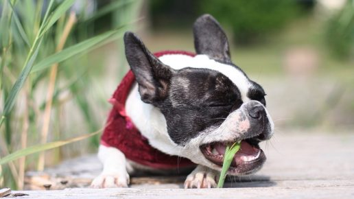 Собака жуёт травинку