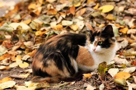 Трёхцветная кошка
