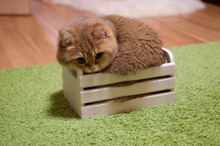 Рыжий кот Хосико в коробке