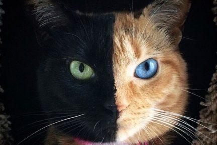 Кошка Венус
