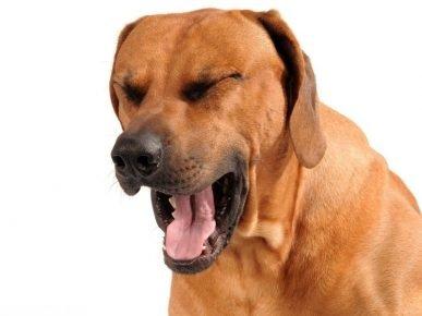 Собака кашляет