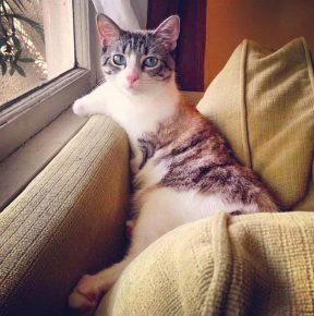 Кошка Roux