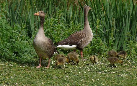 Семья диких гусей