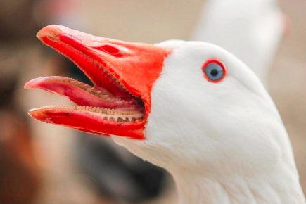 Клюв гуся