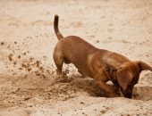 Собака роет землю