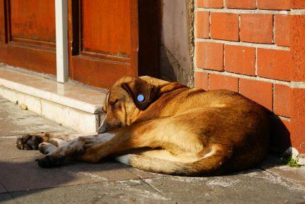 Собака с синей клипсой в ухе