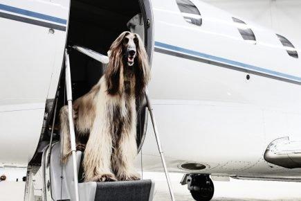 Собака на трапе самолёта