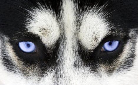 Глаза здоровой собаки