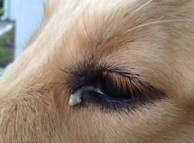 Выделения из глаза собаки