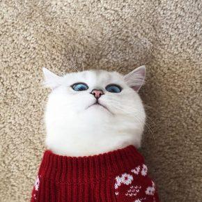Белый кот в свитере