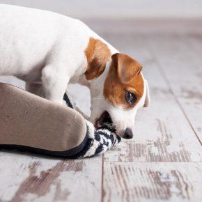 Собака погрызла обувь