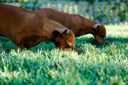 Две собаки на траве