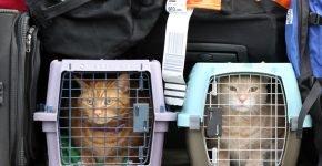 Два кота в переносках