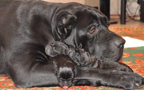 Кане корсо и щенки