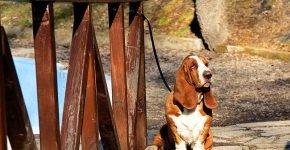длинноухая охотничья собака