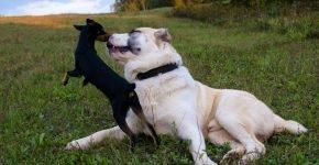 Алабай и мелкий пёс
