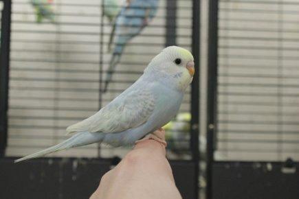 Юный волнистый попугай