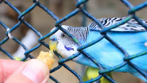 Угощение для волнистого попугая
