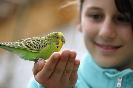 Волнистый попугай и ребёнок